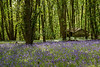 Bluebells and derelict hut