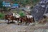 A donkey train heads back to Lukla at Koshigaun village between Lukla and Phakding