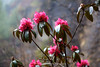 Beautiful rhododendron blossoms between Monjo and Phakding.