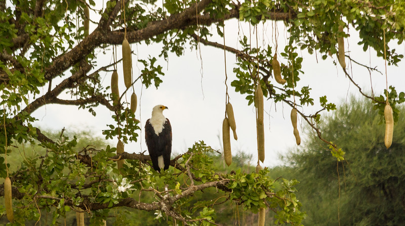 African Fish Eagle on Sausage Tree