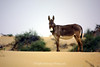 Wild Donkey, United Arab Emirates