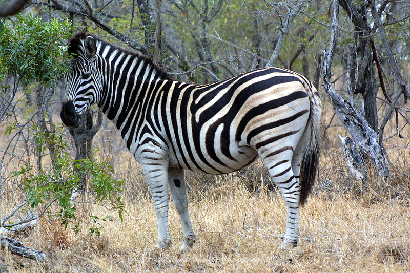 Zebra, Ngala Private Game Reserve, South Africa