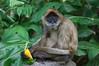 Ape at Torronga Zoo, Sydney, Australia