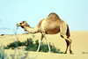 Camel, United Arab Emirates
