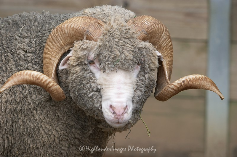 Marino Sheep at Torronga Zoo, Sydney, Australia