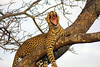 Leopard, Ngala Private Game Reserve, South Africa