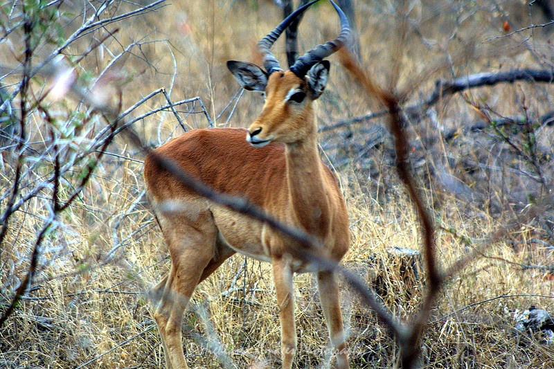 Impala. Ngala Private Game Reserve, South Africa
