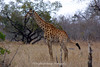 Giraffe, Ngala Private Game Reserve, South Africa