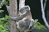 Koala at Torronga Zoo, Sydney, Australia