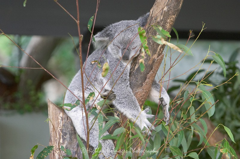 Koala, Torronga Zoo, Sydney, Australia
