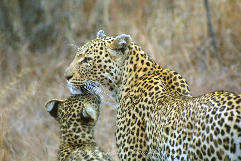 Leopard and cub, Ngala Private Game Reserve, South Africa