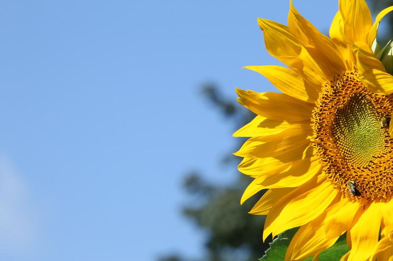 Summer Sunflower.JPG