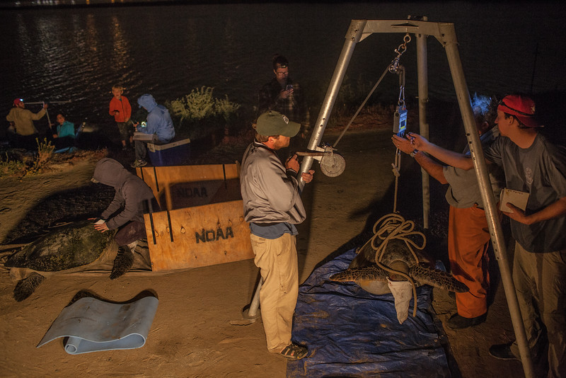 Scientists and graduate students work up three turtles at the San Diego power plant. The warm water outflow keeps the turtles warm and allows them to feed year round. By not having to hibernate like other populations in colder water, they are able to grow four times faster than other populations of green turtles. Image taken under NMFS permit # 16803