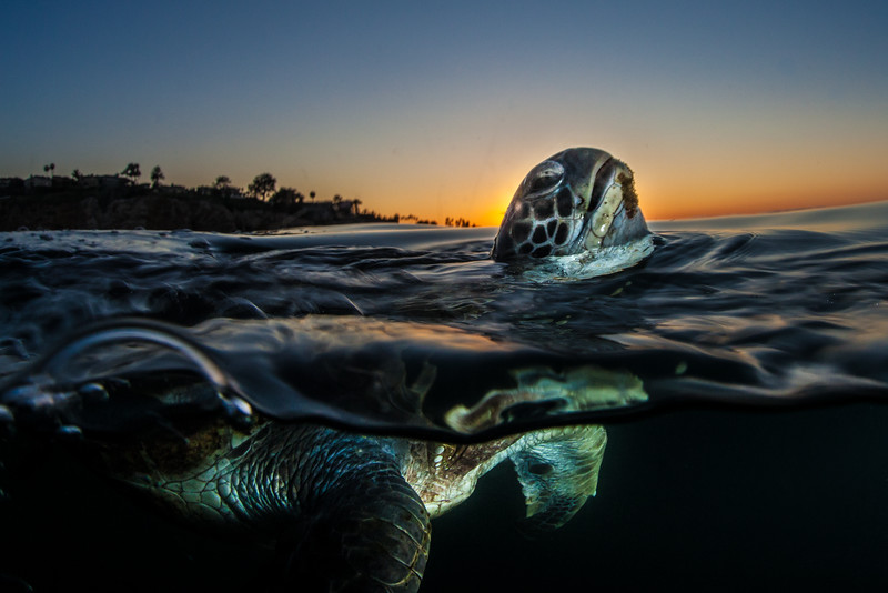Prior to World War I, Eastern Pacific green sea turtles (Chelonia mydas agassizii) were abundant in San Diego, California. Considered to be wiped out due to poaching in Mexico, scientists from the National Oceanic and Atmospheric Association (NOAA) thought green turtles no longer inhabited the area. In the 1980s scientists were excited to hear new reports of sea turtles using the warm effluents waters from a local power plant.