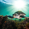 Now that turtle fishing efforts in Mexico have eased, turtles are filling their old ecological niches in southern California.  As a federally protected species, NOAA is now establishing critical habitat for sea turtles leading to more marine protected areas up the California coast.