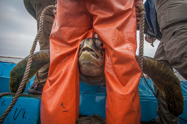 A turtle is pulled from the monitoring net in the San Diego Bay. Image taken under NMFS permit # 16803