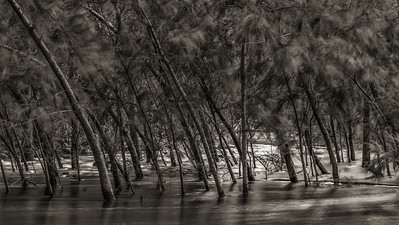 Casuarina Cunninghamiana (River She-oak)