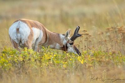 Pronghorn Buck Grazing