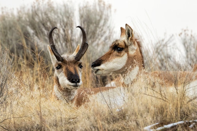 Pronghorn Buck and Doe