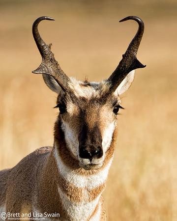 Pronghorn Buck Portrait