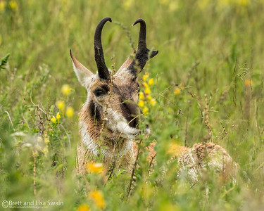 Pronghorn Buck in Hiding