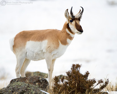 Small Pronghorn Buck in WInter