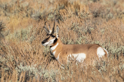 Pronghorn Buck in Sagebrush-Tetons