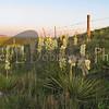 Yucca colony south of Nunberg house<br /> Wibaux County, Mont.<br /> July 1, 2013<br /> Jeri L. Dobrowski photo