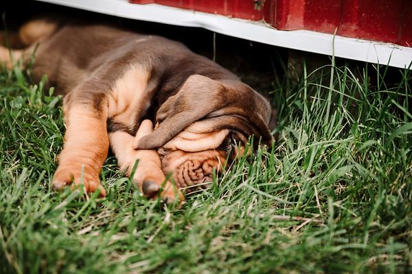 K Creek Farms Bloodhounds