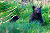 Cute Bear Cub Clingmans Dome During Sunrise Smoky Mountains
