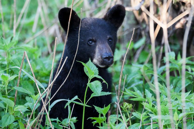 Cute Bear Cub Clingmans Dome During Sunrise Smoky Mountains
