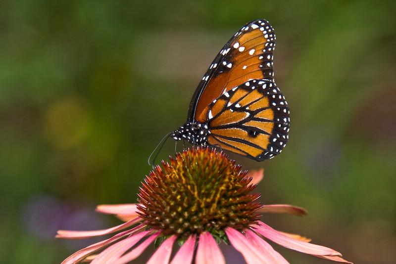 Monarch*<br /> Danaus plexippus