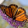 Monarch*<br /> Danaus plexippus