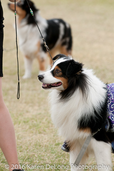 20161120_Greater Sierra Vista Kennel Club_Aussies-5