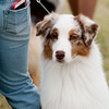 20161120_Greater Sierra Vista Kennel Club_Aussies-8