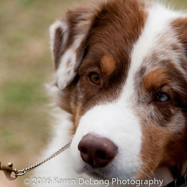 20161120_Greater Sierra Vista Kennel Club_Aussies-242