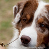 20161120_Greater Sierra Vista Kennel Club_Aussies-242
