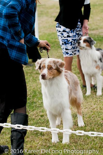 20161120_Greater Sierra Vista Kennel Club_Aussies-344