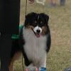 20161120_Greater Sierra Vista Kennel Club_Aussies-2