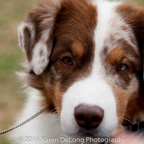 20161120_Greater Sierra Vista Kennel Club_Aussies-241