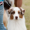 20161120_Greater Sierra Vista Kennel Club_Aussies-7