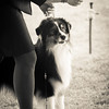 20161120_Greater Sierra Vista Kennel Club_Aussies-255