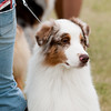 20161120_Greater Sierra Vista Kennel Club_Aussies-6