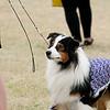 20161120_Greater Sierra Vista Kennel Club_Aussies-4