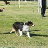 20161119_Tucson Kennel Club_Aussies-123