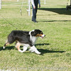 20161119_Tucson Kennel Club_Aussies-124