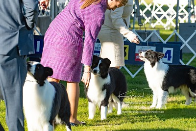 20200131_Sahuaro State Kennel Club_Border Collies_KDP_5078