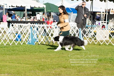 20200131_Sahuaro State Kennel Club_Border Collies_KDP_5099