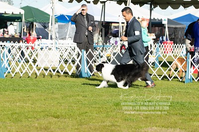 20200131_Sahuaro State Kennel Club_Border Collies_KDP_5105