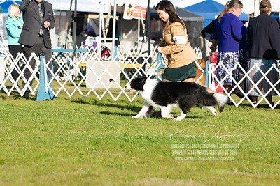 20200131_Sahuaro State Kennel Club_Border Collies_KDP_5093